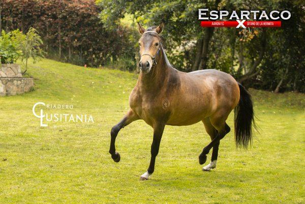 Potro Espartaco
